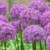 Česnek Allium Gladiator 3