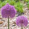 Česnek Allium Gladiator 5