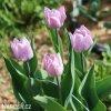 ruzovy tulipan candy prince 5
