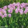 ruzovy tulipan candy prince 7