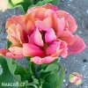 ruzovy plnokvety tulipan final star 4