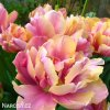 ruzovy plnokvety tulipan final star 6