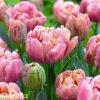 ruzovy plnokvety tulipan final star 5