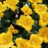 zluty trepenity tulipan maja 2