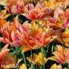 oranzovy plnokvety tulipan willem van oranje 2