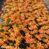 oranzovy plnokvety tulipan willem van oranje 4