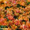 oranzovy plnokvety tulipan willem van oranje 6