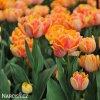 oranzovy plnokvety tulipan willem van oranje 8