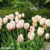 bilocerveny trepenity tulipan carousel 2