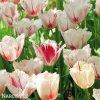 bilocerveny trepenity tulipan carousel 6