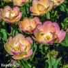 zlutoruzovy plnokvety tulipan creme upstar 2