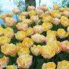 zlutoruzovy plnokvety tulipan creme upstar 5
