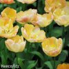 zlutoruzovy plnokvety tulipan creme upstar 7