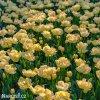 zlutoruzovy plnokvety tulipan creme upstar 8