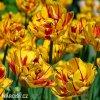 zlutocerveny plnokvety tulipan golden nizza 2