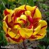 zlutocerveny plnokvety tulipan golden nizza 3