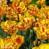 zlutocerveny plnokvety tulipan golden nizza 5