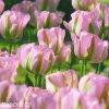 ruzovy tulipan triumph groenland 2
