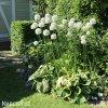 bily Česnek Allium Mount everest 3
