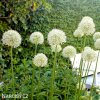 bily Česnek Allium Mount Everest 5