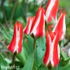 cervenobily tulipan pinocchio 2
