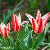 cervenobily tulipan pinocchio 5