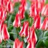 cervenobily tulipan pinocchio 7