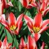 cervenobily tulipan pinocchio 1