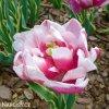 ruzovy plnokvety tulipan top lips 2
