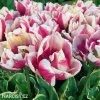 ruzovy plnokvety tulipan top lips 4