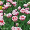 ruzovy plnokvety tulipan top lips 5
