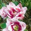 ruzovy plnokvety tulipan top lips 8