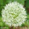 bily Česnek Allium Mount everest 2
