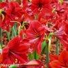 červený hvězdník amaryllis red lion 2