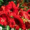 červený hvězdník amaryllis red lion 4
