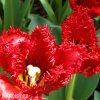cerveny trepenity tulipan crystal beauty 2