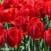 cerveny trepenity tulipan crystal beauty 3