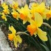 žlutooranžový narcis juanita 3