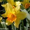 žlutooranžový narcis juanita 6