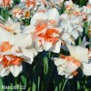bílý plnokvětý narcis replete 4