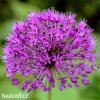 fialovy cesnek allium purple sensation 1
