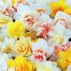 Narcis Plnokvětý mix 3