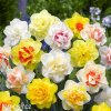 Narcis Plnokvětý mix 1