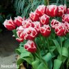 cervenobily trepenity tulipan canasta 2