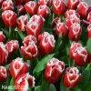 cervenobily trepenity tulipan canasta 3