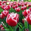 cervenobily trepenity tulipan canasta 6