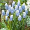 Modřenec Muscari blue magic aucheri 3