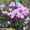 Bramborik hederifolium 03