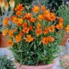 Alstroemeria aurea Orange King 02