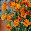 Alstroemeria aurea Orange King 03